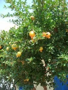 Granatapfelbaum in Griechenland