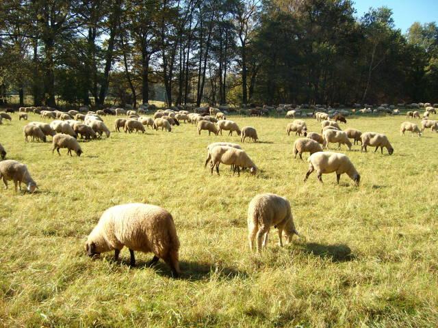 Schafe 1
