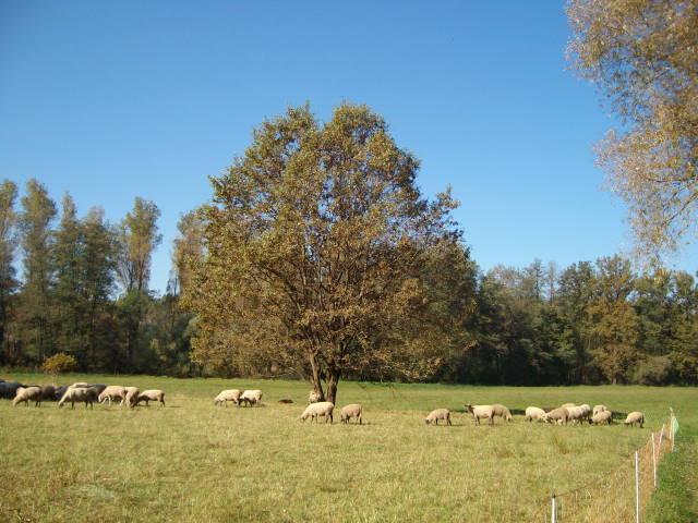 Schafe 4