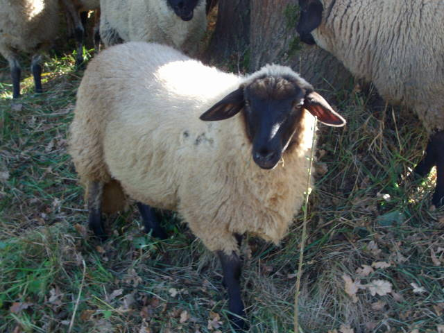 Schafe 6