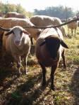Schafe 7