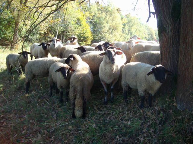 Schafe 8