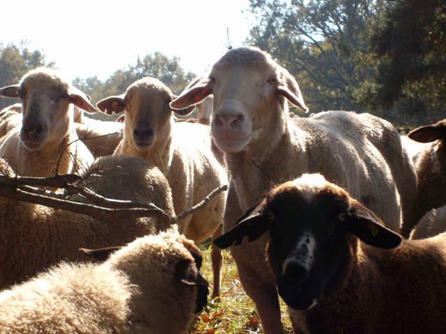 Schafe 9