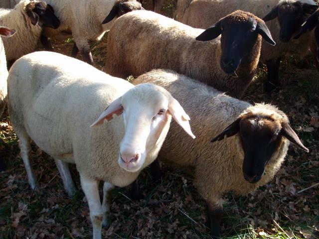 Schafe 10