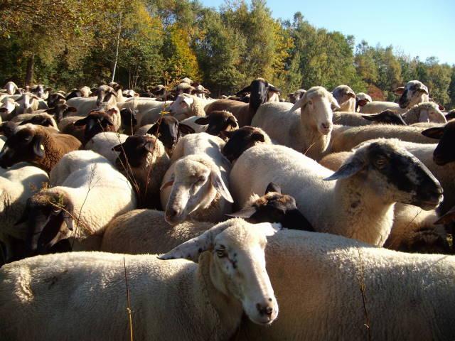 Schafe 11