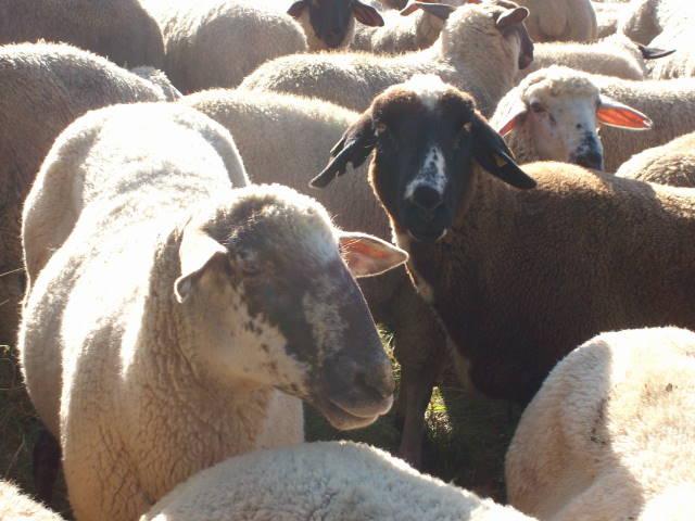 Schafe 12