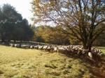 Schafe 13