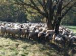 Schafe 14